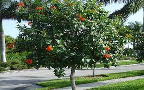 geiger tree for sale fort myers
