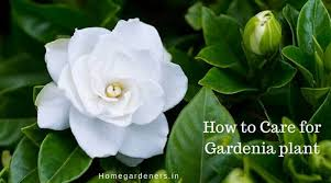gardenia plant how to care for gardenia plant at home and garden