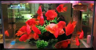 ornamental fish feed for aquarium blood parrot hyperchromic feed