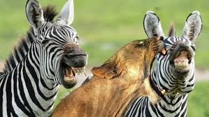 zebra vs lion escaping from death youtube