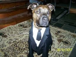 Spider Halloween Costume Dogs Halloween Costume Ideas Pit Bull Chat Forum