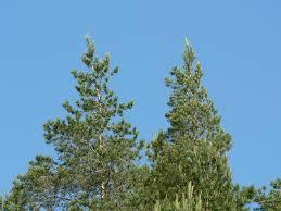free stock photo of tree tops plants