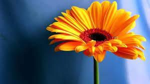 Flower Screen Backgrounds - free flower desktop backgrounds flowers ideas