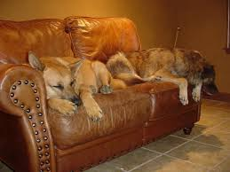 Leather Sofa And Dogs Impressive Pets And Leather Furniture Inside Best Sofa For Dogs