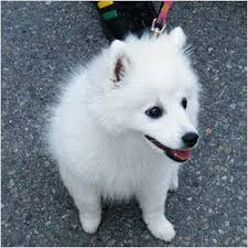 american eskimo dog for sale in hyderabad bichon frise farming and pet animals clawsnpawskennel in