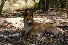 interbreeding of dingoes with other domestic dogs wikipedia