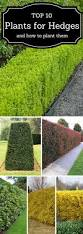 top 10 best plants for hedges and how to plant them plants