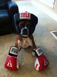boxer dog mean a blog of my own ozzy the non pugilistic boxer