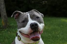 american pitbull terrier webbed feet pitties love peace dedicated to the rescue education u0026 advocacy