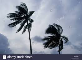 palm trees blowing in hurricane winds antigua indies stock