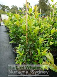 australian native plant nursery syzygium resilience 200mm pot australian native hedging plant