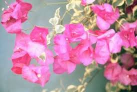Bougainvillea Topiary - how to care for a bougainvillea in a pot home guides sf gate