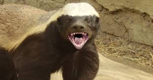 Meme Honey Badger - honey badger does care new video blasts tests on baby monkeys