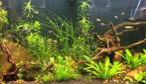 Live Plants In Community Aquariums by Diagnosing Problems With Aquarium Plants Ratemyfishtank Com