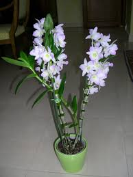 orchids care orchid care and rich beautiful flowers at home admiring hum ideas