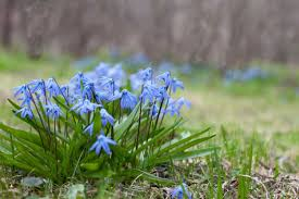 early blooming flower bulbs announce spring u0027s return longfield