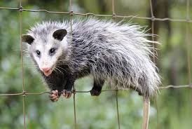 Possum In My Backyard What Do I Need To Know About Opossums If I Keep Chickens From My