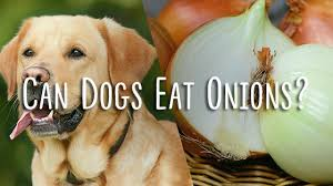 are onions for dogs are onions for dogs pet consider