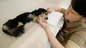dog euthanasia how to euthanize a dog at home without a vet