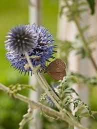 free photo blue thistle ornamental thistle free image on