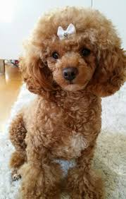 pictures of poodle haircuts 15 best poodle haircuts images on pinterest poodles hair cut