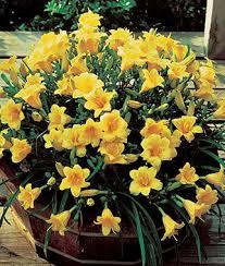stella daylily daylily stella de oro daylilies at burpee