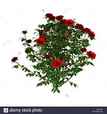 3d digital render of a red rose bush isolated on white background