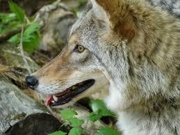 New Hampshire wild animals images Something wild new hampshire public radio jpg