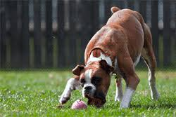 3 month boxer dog how to train a boxer puppy to stop biting