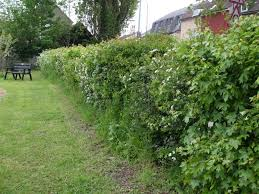 native plants uk native hedgerow plants home design inspirations