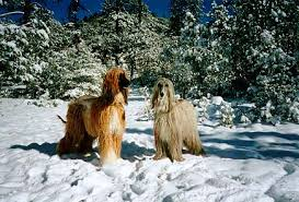 owning an afghan hound all around afghan hounds