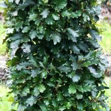 fagus sylvatica fagus sylvatica purpurea purple beech instant hedging wire