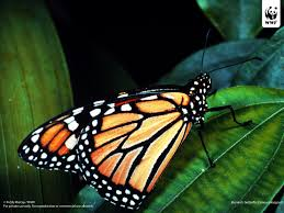 monarch butterfly wwf