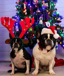 christmas santa french bulldog reindeer boston