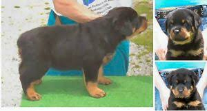 puppies indiana rottweiler puppies in indiana