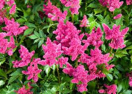 top 5 perennials for shade garden club