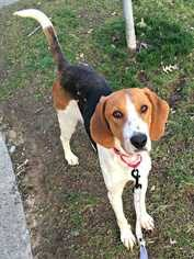 bluetick coonhound jack russell mix view ad treeing walker coonhound dog for adoption north carolina