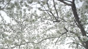 white fluffy trees tamarix in the town of ljuta plants of