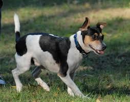 american eskimo dog jack russell mix rat terrier spockthedog com