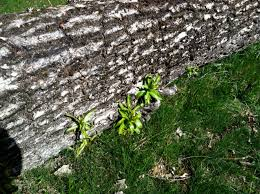 willow tree shifting gears