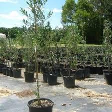 arbequina olive tree buy nature hills nursery