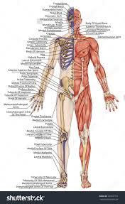 Anatomy Of Human Body Bones Anatomical Body Anatomy Of The Body Bones Quiz Sohanscrapmetal