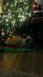 12645 best english bulldog images on pinterest english bulldogs