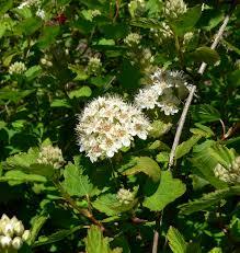 physocarpus plant lust