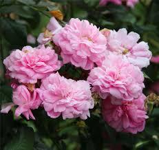 ispahan climbing rose