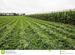 irrigated corn irrigated corn and legume crops stock image image of bean field