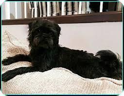 affenpinscher missouri posey adoption pending adopted dog seymour mo
