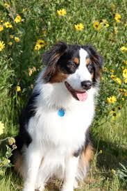 belgian shepherd gumtree 45 best dogs images on pinterest big dogs animals and puppies