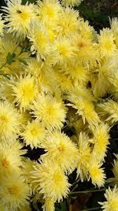 162 best chrysanthemums images on pinterest chrysanthemums