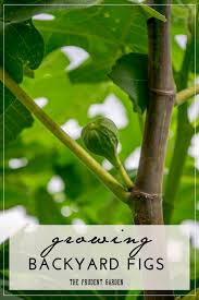 growing backyard figs